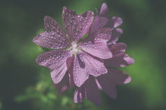 Mallow - water droplets - Vintage-Look. Mallow - Malva sylvestris - blossom with water droplets - Vintage-Look Stock Photos