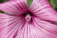 Mallow - with water drops Stock Images
