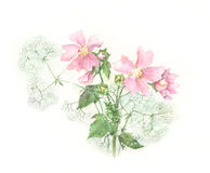 Mallow watercolor painting. Mallow and Gypsophila hand painted in watercolor Royalty Free Stock Photography