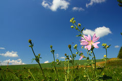 Mallow wildflower on meadow background Royalty Free Stock Photo