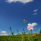 Mallow wildflower on meadow background Stock Photography