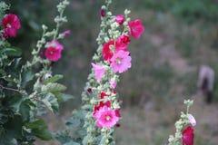 MallowMalva eller malva - örtartade växter, typsläkte av familjmalvaceaen arkivbild