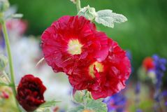 Mallows. Two red mallow blooming close up Royalty Free Stock Images