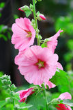 Mallows. The Pink malva Silvestris. Mallows stock image