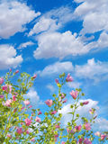 Mallows blossoming against blue sky background stock image