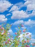 Mallows die tegen blauwe hemelachtergrond tot bloei komen Stock Afbeelding