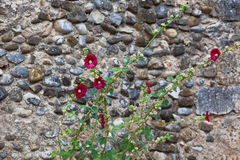 Mallows flowers on a stone wall background. Mallows flowers on a textured stone wall background Royalty Free Stock Images