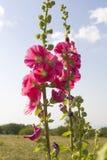Mallows rosados Fotos de archivo libres de regalías
