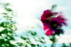 Mallows in the wind. Mallow - beautiful summer flower garden Stock Image