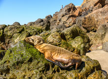 Malnoruished Baby Seal Sleeping On A Rock. In Malibu Stock Image