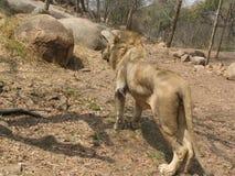 Malnourished   lion. Stock Photos