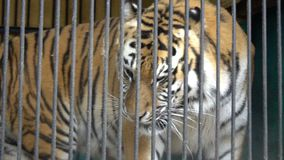 Malnyan tiger face walking, caged animal, cruel captivity in a circus zoo