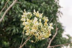 Maloggay roślina kwitnie zwrotniki Zdjęcie Stock