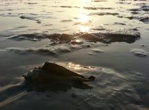 Malongena overzeese shell op modderige kust Royalty-vrije Stock Afbeeldingen