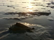 Melongena sea shell on muddy shore Royalty Free Stock Images