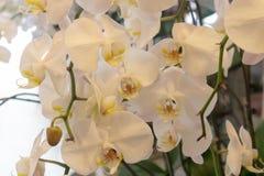 Malorkidé-Phalaenopsis aphrodite Rchb f arkivfoto