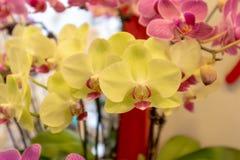 Malorkidé-Phalaenopsis aphrodite Rchb f royaltyfri fotografi