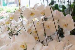 Malorkidé-Phalaenopsis aphrodite Rchb f royaltyfri bild