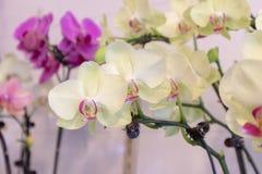 Malorkidé-Phalaenopsis aphrodite Rchb f royaltyfria foton