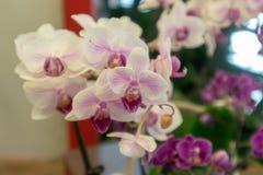 Malorkidé-Phalaenopsis aphrodite Rchb f arkivbild