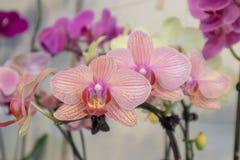 Malorkidé-Phalaenopsis aphrodite Rchb f royaltyfria bilder