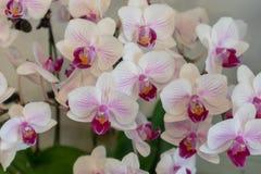 Malorkidé-Phalaenopsis aphrodite Rchb f royaltyfri foto