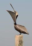Malote do pelicano Fotos de Stock