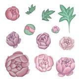 Malować różowe peonie na lekkim tle royalty ilustracja