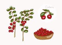 Malować brusznicy, wektorowa ilustracja Fotografia Stock