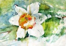 Malować kwiatu narcyza Fotografia Stock