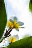 Malować kwiatu obrazu kwiatu Plumeria Obrazy Royalty Free