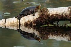 malowany żółw fotografia royalty free