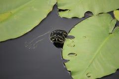 malowany żółw Zdjęcie Royalty Free