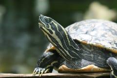 malowany żółw Obrazy Stock