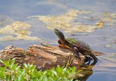 malowany żółw Obraz Royalty Free