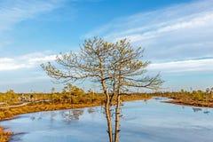 Malownicza sceneria Kemeri Wielki bagno z małymi malutkimi marznącymi jeziorami i jesień barwił flory zimy torfowiskowy bagno i s zdjęcie royalty free
