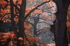 Malowniczy jesień dębu gaj Zdjęcia Royalty Free