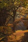 Malowniczy jesień dębu gaj Obrazy Royalty Free