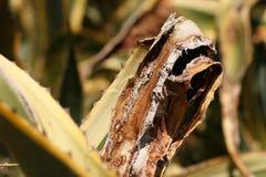 Malowniczy liście agawa Zdjęcie Stock