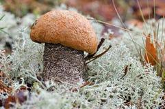Malowniczy nakrywający scaber badyla Leccinum aurantiacum zamknięty w górę Otaczający z białym mech Grzyby, pieczarka w jesieni d zdjęcia stock