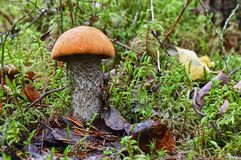 Malowniczy nakrywający scaber badyla Leccinum aurantiacum zamknięty w górę Otaczający z zielonym mech i suszy liście Grzyby, piec zdjęcia royalty free