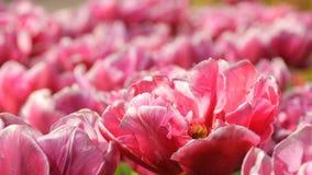 Malowniczy pi?kni b?odzy menchii i bielu peoni tulipan?w kwiaty kwitn? w wiosna ogr?dzie Dekoracyjny Tulipanowy kwiat zbiory