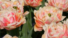 Malowniczy pi?kni b?odzy menchii i bielu peoni tulipan?w kwiaty kwitn? w wiosna ogr?dzie Dekoracyjny Tulipanowy kwiat zdjęcie wideo
