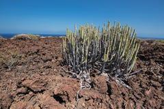 Malpais de Guimar, vulkaniskt landskap för badlands i Tenerife, Cana Royaltyfria Foton