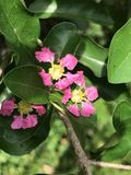 Malpighia emarginata oder Acerola- oder Barbados-Kirsche Stockbilder