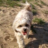 Malshi shitzu puppy mix. Puppy on beach Royalty Free Stock Photo