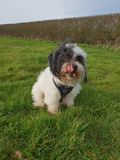 Malshipoo snoopy dog black and white royalty free stock images
