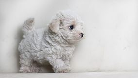 Maltés del perrito del perro aislado mirando algo - espacio del texto a la derecha imágenes de archivo libres de regalías