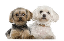Maltês, 8 anos velho, terrier de Yorkshire Imagem de Stock Royalty Free