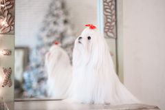 Maltês branco glamoroso em um interior à moda fotos de stock